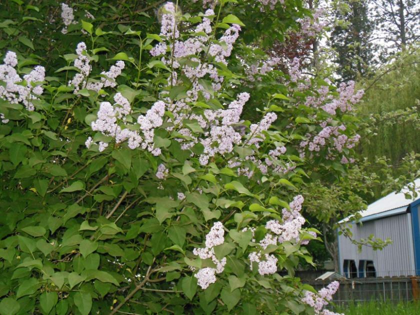 lilacs01